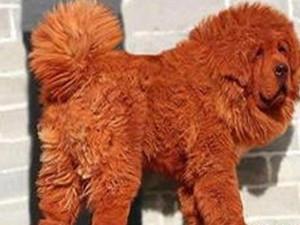 世界上最贵的狗在哪里 一辆宾利也换不来一只宠物狗