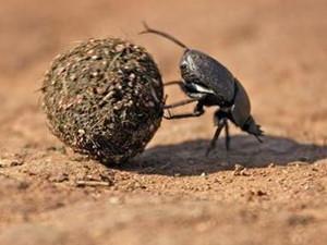 古埃及人为什么崇拜圣甲虫 埃及圣甲虫真的吃人吗