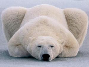 北极熊为什么不吃企鹅 北极的企鹅惨遭屠杀走投无路