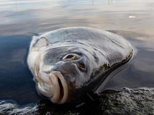 6吨死鱼浮在水面 死鱼铺满水塘渔民痛哭流泪