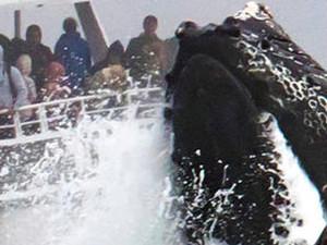 巨鲸跃出海面捕食 游船险些被撞翻惊险一幕引哗然