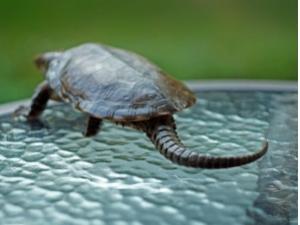 乌龟吃什么食物 有个说法养龟为什么不能养双真的吗