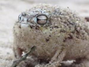 沙漠雨蛙什么梗被禁 沙漠雨蛙长相呆萌叫声奇特