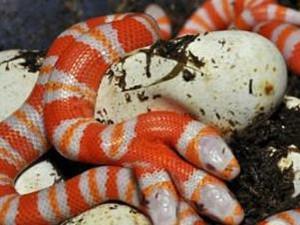 三头蛇图片是真的吗 世界上有三头蛇吗