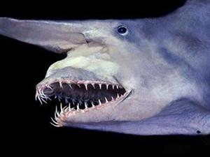 加布林鲨鱼可以自爆吗 加布林鲨鱼自爆图片是怎么回事