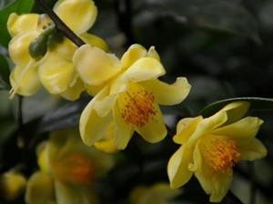 植物之最有哪些 金花茶一株近上万块成植物界大熊猫