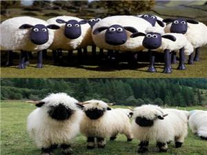 瓦莱黑鼻羊多少钱一只 黑鼻羊中国可以养吗