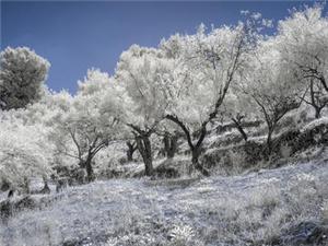 白色橄榄树是真实事件改编的吗 小说结局怎样的是悲剧吗