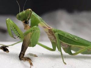 母螳螂和公螳螂交配后 为什么要吃掉公螳螂