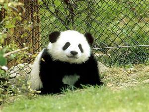"""野生熊猫啃食家养山羊 原来大熊猫也吃""""荤"""""""