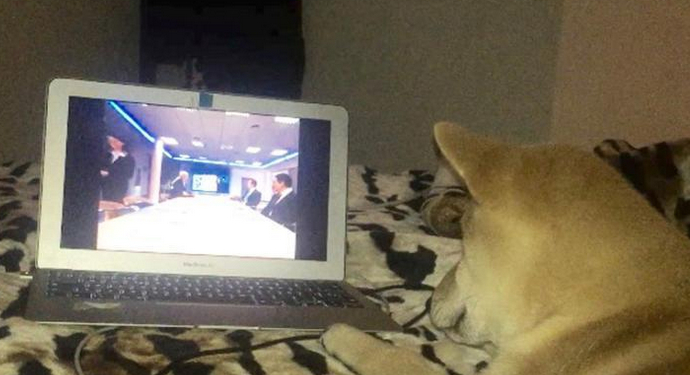 柴犬爱看电视走红
