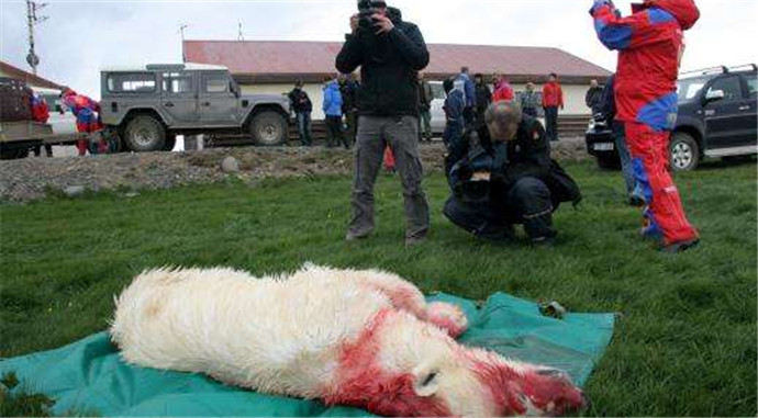 北极熊逃出被射杀 游客的安全永远是第一位的!