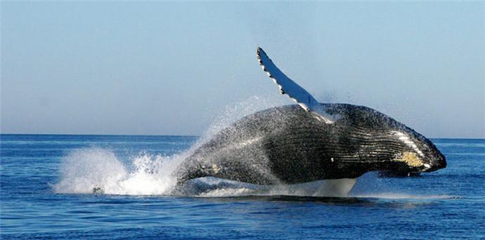 潜水员解救被困香鲸 但其基本没有希望恢复健康!