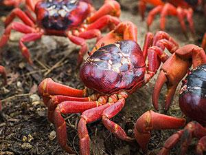 古巴百万螃蟹横行扎破车轮胎 安全套补轮胎这事你见过没