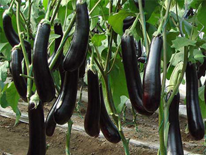 吃茄子能排毒 多多吃紫色蔬菜对身体的好处