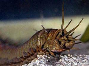 蛀船虫会把人怎么样 被评为世界上最恶心的动物