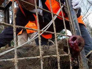 日本发生野猪伤人 野猪直冲向人群十分恐怖