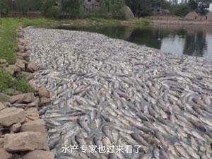 6万斤鱼缺氧死亡疑与工厂污水有关 现场惨不