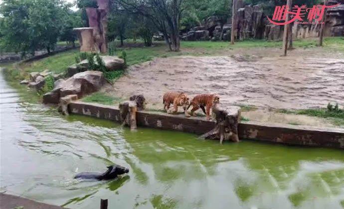 动物园将活驴投喂老虎