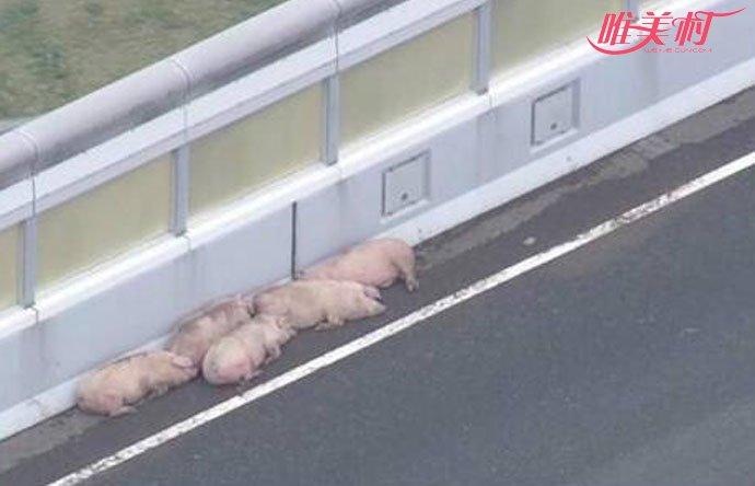 19头猪高速车祸中逃走