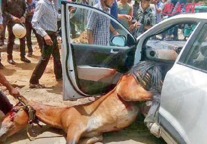 印度马儿热晕怒怼汽车