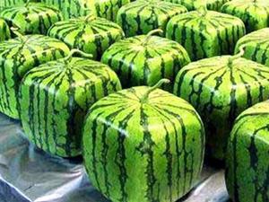 瓜农种出方形西瓜 生长过程曝光深受各国喜欢晋升天价西瓜