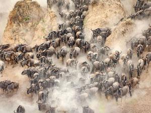 肯尼亚角马大迁徙 千里奔波掀起滚滚尘土笼罩大地