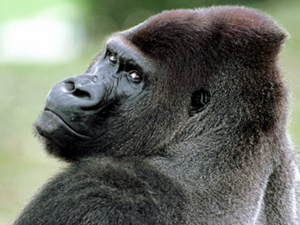 猩猩搬家搞对象,而且这只猩猩还成了惯犯