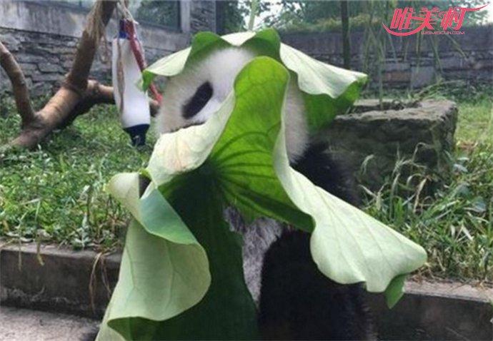 大熊猫戴绿帽子