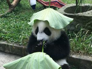 大熊猫戴绿帽子照片曝光 绿帽也能戴得那么