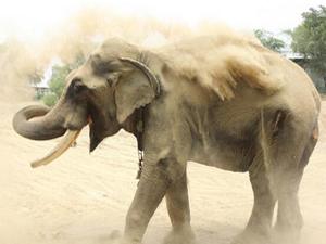 印度大象遭囚寺庙58年 腿部肿胀双眼失明被虐得体无完肤