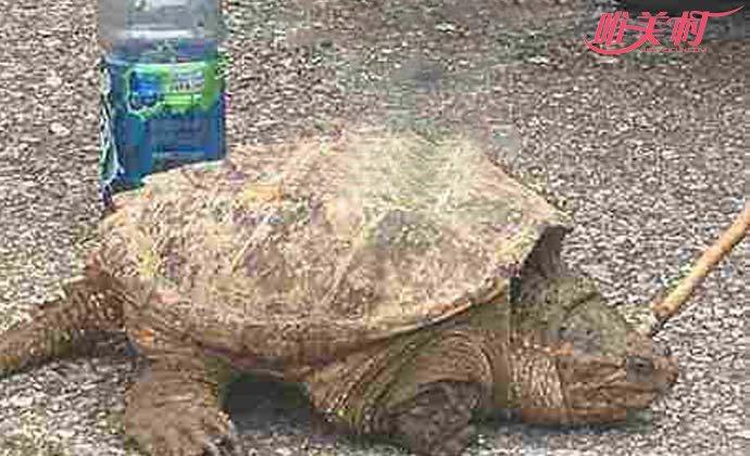 老汉菜地捡到大龟