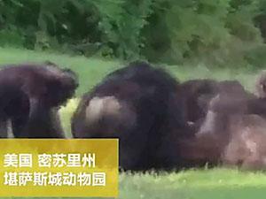 猩猩被群殴致死 因爬树摔下惨死同类手中群殴视频曝光