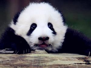 被人脱裤子的大熊猫 网友们说这熊猫也是太