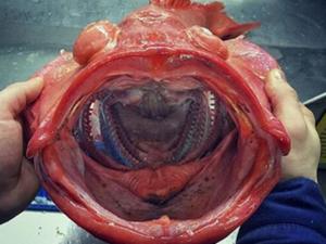 福建出现了超级大怪鱼 村民表示完全被惊呆了