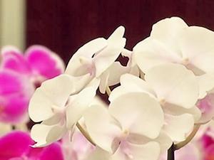 偷花大盗!女子买花顺手价值2000万的新蝴蝶兰