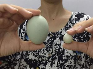 农户发现迷你鸡蛋 逆天小鸡蛋引人惊叹专家解读原因