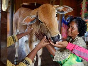 寡妇屋内养牛坚信丈夫转世 寡妇嫁小牛人牛