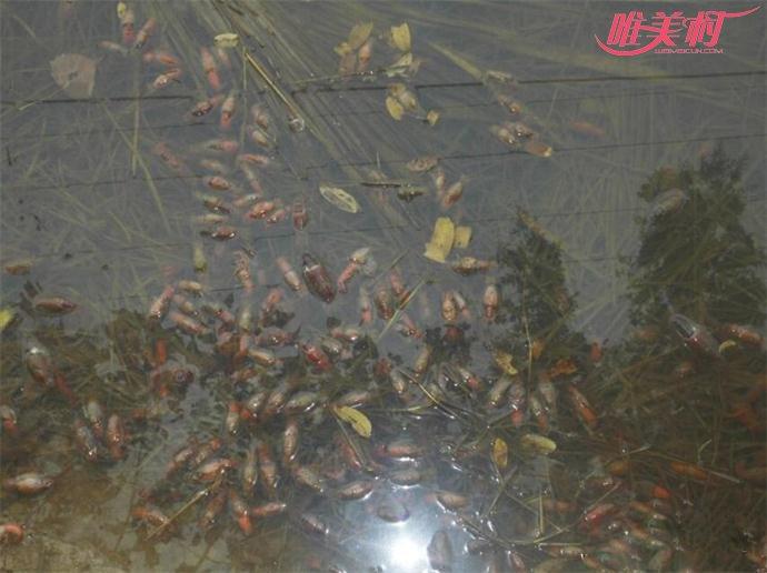 死掉的小龙虾