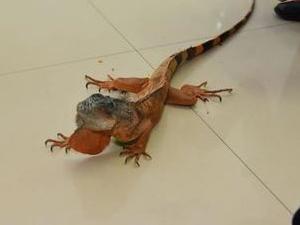 床下钻出1米长蜥蜴 长相十分怪异攻击性极强吓坏众人