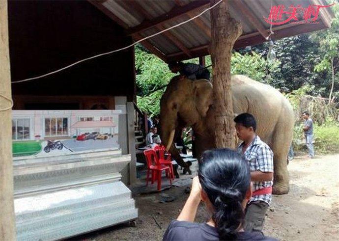 主人遇难大象跪拜