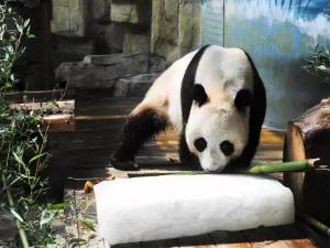 国宝又在搞事情啦 超可爱大熊猫热到怀疑人