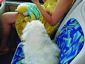 宠物狗公交坐座位 狗主人大言不惭狗累必须坐着引争议