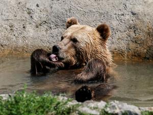 乌克兰村庄建熊之家 大棕熊凶残起来甚于虎