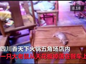火锅店天花板掉下大老鼠 硕大死老鼠直砸食客面前令人作呕