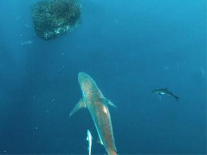 鲨鱼邂逅球状鱼群 画面密密麻麻鲨鱼一头扎