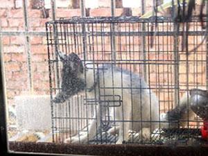 男子买狐狸当宠物 把家里搞得鸡飞狗跳仍坚