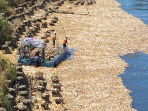 台湾高温致大片死鱼 河面飘满了鱼密密麻麻