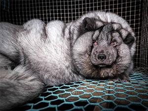 狐狸被养成怪物 生活没自由且痛苦甚至想一