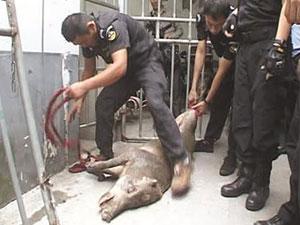 南京一野猪闯进医院 撞倒小孩咬伤人捣蛋野